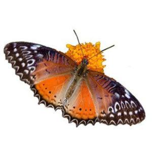 Живые бабочки среднего размера