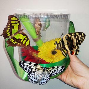 Набор куколок для подарка с живыми бабочками