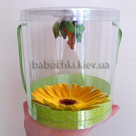 Бабочкарий - позрачныц тубус с куколками, будущими бабочками
