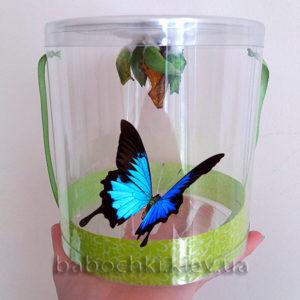 Живые тропические бабочки и куколки купить в Киеве