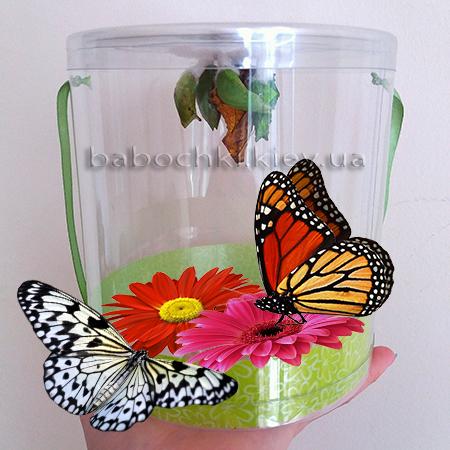 Бабочкарий - набор куколок - ферма бабочек купить в Киеве.