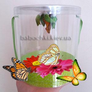 Купить куколки тропических бабочек Киев