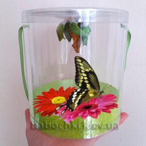 Бабочкарий - ферма бабочек - набор куколок!