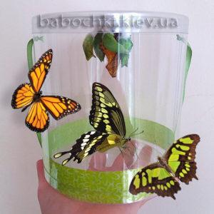 Лучший детский подарок - это живые бабочки в наборе с куколками