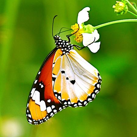 Живая бабочка Данаус