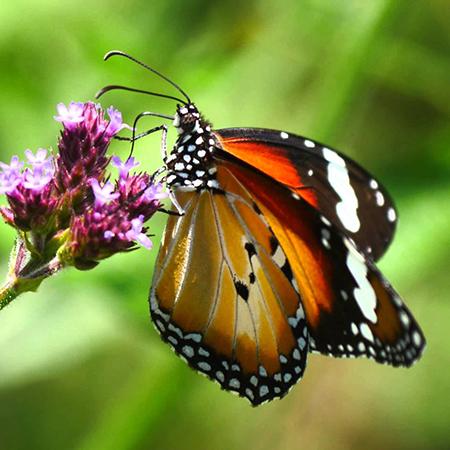 Не большая живая бабочка Данаус.
