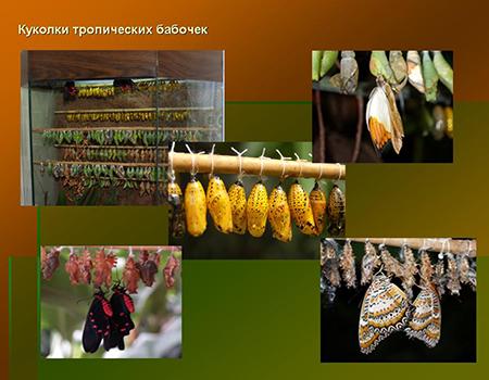 Куколки тропических видов бабочек для выращивания живых бабочек дома.