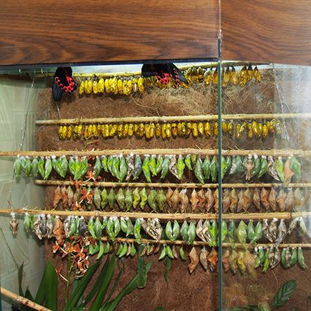 Куколки тропических бабочек для бизнеса по выращиванию живых бабочек.