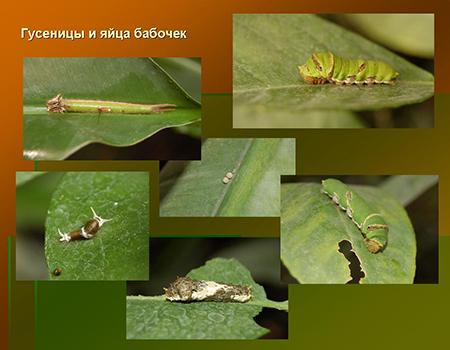 Яйца и гусеницы тропических видов бабочек на листиках растений.