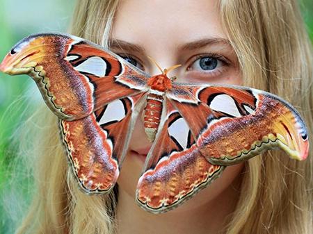 Самая большая бабочка мира.